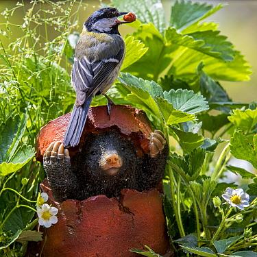 Great tit (Parus major) with peanut in beak on top of mole figurine hiding in broken flowerpot in garden, Belgium, May.