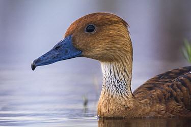 Fulvous whistling-duck (Dendrocygna bicolor) La Pampa,  Argentina.