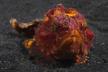 Bright red and orange pitted stonefish (Erosa erosa) in Lembeh Strait, North Sulawesi, Indonesia