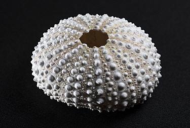 Flower urchin (Toxopneustes pileolus) hard interior shell or test, Kannoura, Toyo-cho, Kochi-ken, Shikoku, Japan.