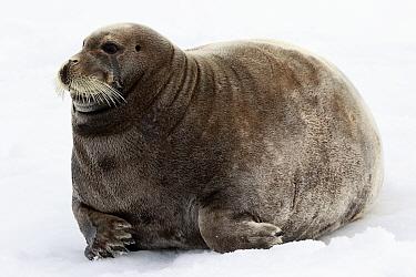 Bearded seal (Erignathus barbatus) resting on ice in Svalbard, Norway, June