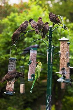 Rose-ringed / Ring-necked  parakeet (Psittacula krameri) with fledgling Starlings (Sturnus vulgaris) on bird feeders. London, UK.