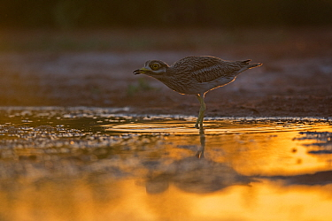 Eurasian Stone curlew (Burhinus oedicnemus) in water at dusk, Belchite Spain July