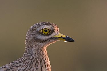 Eurasian Stone curlew (Burhinus oedicnemus) head portrait, Belchite Spain, July