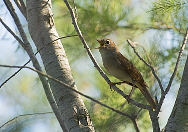 Nightingale (Luscinia megarhynchos) in song, Camargue Provence France, May