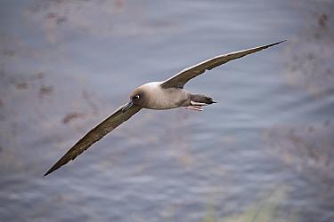 Light-mantled Sooty albatross (Phoebetria palpebrata) Saddle Island, South Georgia, January