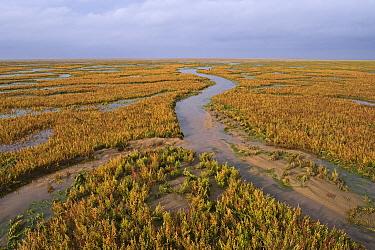 Marsh samphire / Glasswort (Salicornia europaea) on salt marsh at Stiffkey marshes, North Norfolk, UK October