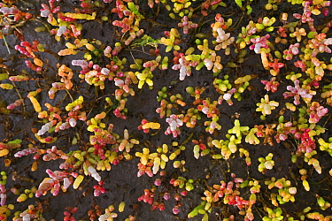 Marsh samphire / Glasswort (Salicornia europaea) on salt marsh in autumn, Stiffkey marshes, North Norfolk, UK October