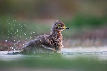 Eurasian Stone curlew (Burhinus oedicnemus) bathing, Belchite Spain July
