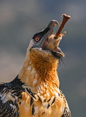 Bearded vulture / Lammergeyer (Gypaetus barbatus) adult swallowing leg bone along with hoof, Spanish Pyrenees, July.  This bird swallowed five of these leg bones whole, they have the ability to dissol...