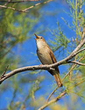 Nightingale (Luscinia megarhynchos) singing, Camargue Provence France May