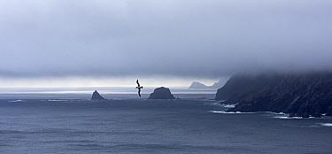 Grey-headed albatross (Thalassarche chrysostoma) in flight over sea near coast, Cape Alexandra, South Georgia, January