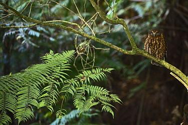 Morepork (Ninox novaeseelandiae) Keri Keri, North Island, New Zealand November