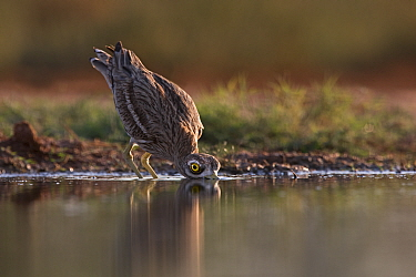 Eurasian Stone culew (Burhinus oedicnemus) drinking from pool in late evening light, Belchite Spain, July