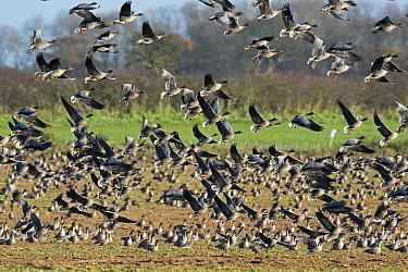 Pink-footed geese (Anser brachyrhynchus) flock flying over harvested beet field, North Norfolk, UK December