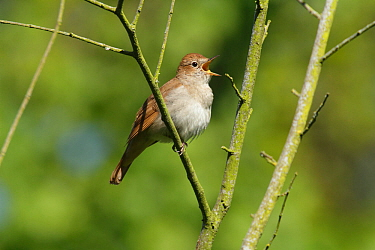 Nightingale (Luscinia megarhynchos) singing in tree near Pulborough, West Sussex, England, UK, May.