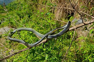 Sumatran ratsnake (Orthriophis taeniurus grabowskyi) Sumatra. Controlled conditions.