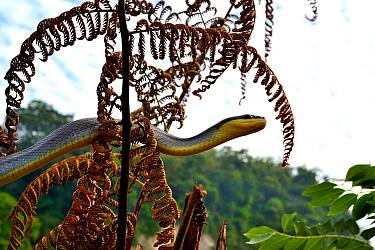 Sumatran ratsnake (Orthriophis taeniurus grabowskyi) Sumatra. Controlled conditions