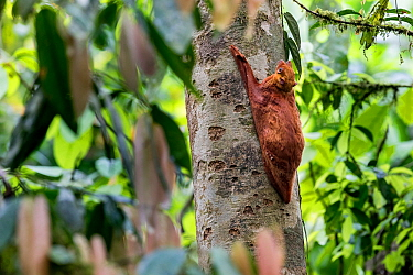 Sunda flying lemur (Cynocephalus variegatus) red colour morph, in daytime resting posture. Danum Valley, Sabah, Borneo.