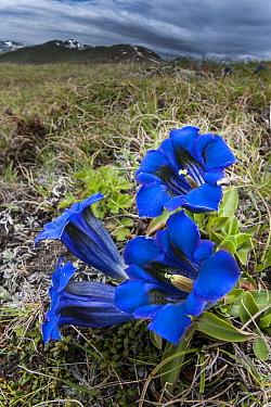 Trumpet / Stemless gentian (Gentiana acaulis) flowers, Nordtirol, Austrian Alps, Austria, July.