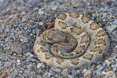 Rattleless / Isla Santa Catalina rattlesnake (Crotalus catalinensis) endemic, brown phase, Santa Catalina Island, Baja California, Mexico, Critically Endangered