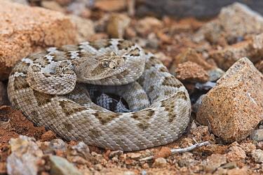 Rattleless / Isla Santa Catalina rattlesnake (Crotalus catalinensis) in brown phase, endemic to Santa Catalina Island, Baja California, Mexico, Critically Endangered