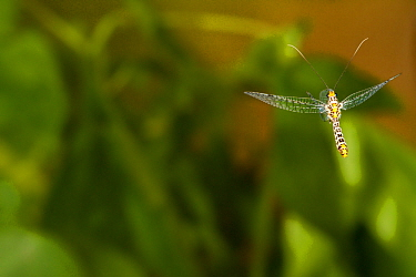 Green lacewing (Abachrysa eureka) flying, Tuscaloosa County, Alabama, USA Controlled conditions. May