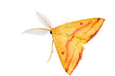 Chickweed geometer moth (Haematopis grataria) on white background, Tuscaloosa County, Alabama, USA October