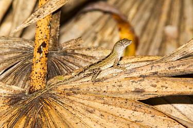Cuban brown anole (Anolis sagrei) Orange County, Florida, USA September