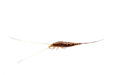 Jumping bristletail (Machiloides banksi) on white background, Tuscaloosa County, Alabama, USA September
