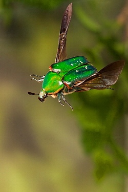 Beetle (Euphoria fulgida) in flight, Travis County, Texas, USA. Controlled conditions. March