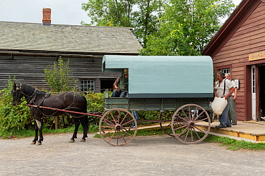 Canadian Horse gelding waits while his wagon is filled with flour bags, at Upper Canada Village Museum, Morrisburg, Ontario, Canada Critically endangered horse breed