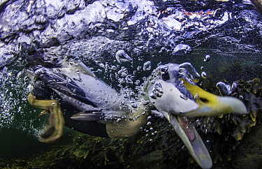 Eider duck (Somateria mollissima) under water, diving for food, Trondelag, Norway. March. Blurred motion in image.