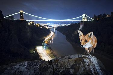 Red fox (Vulpes vulpes) vixen in front of Clifton Suspension Bridge at night. Avon Gorge, Bristol, UK. March 2016.