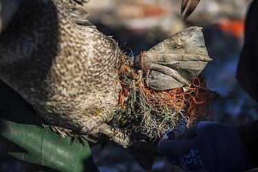 Northern gannet (Morus bassanus) juvenile entangled in marine litter. Grassholm Island, Wales, UK. October