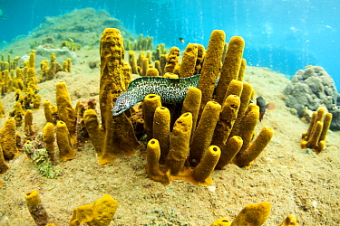 Spotted moray eel (Gymnothorax moringa) inside Yellow tube sponges (Aplysina fistularis) Dominica, Caribbean Sea, Atlantic Ocean.