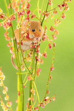 Harvest mouse (Micromys minutus) feeding on Sorrel (Rumex acetosa), Devon, England, UK. May. Captive
