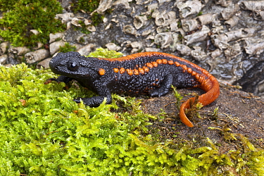 Kweichow crocodile newt (Tylototriton kweichowensis) captive, endemic to China. Vulnerable species,