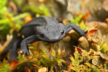 Black knobbly newt (Tylototriton taliangensis) captive occurs in China.