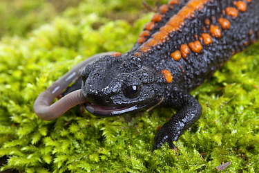 Kweichow crocodile newt (Tylototriton kweichowensis) eating worm. Captive, endemic to China. Vulnerable species,