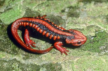 Mandarin newt (Tylototriton verrucosus) captive, occurs in Asia.