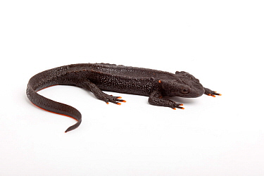 Taliang knobbly newt (Tylototriton taliangensis) on white background captive, endemic to Sichuan China.