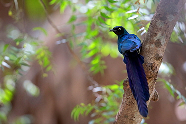 Long-tailed Glossy-Starling (Lamprotornis caudatus) perched, The Gambia, Africa, April 2016