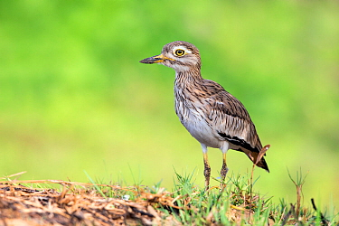 Senegal thick-knee (Burhinus senegalensis) Stone curlew, Gambia, Africa, May.