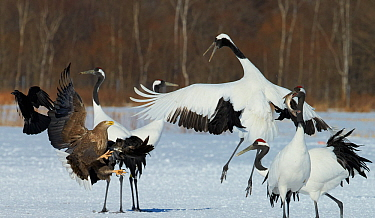 White tailed eagle (Haliaeetus albicilla) and Red-crowned cranes (Grus japonicus) fighting over food, Hokkaido Japan February