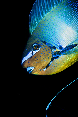 Bignose unicornfish (Naso vlamingii) profile of male displaying (the blue stripe at the bottom of the frame is the tail of another individual) Baa Atoll, Maldives. Indian Ocean.