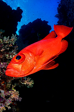 Crescent-tail bigeye (Priacanthus hamrur) on the drop off of Little Brother Island, Egypt. Red Sea