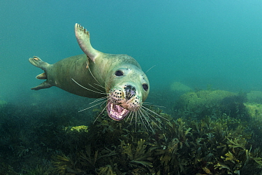 Grey seal (Halichoerus grypus) young seal opens its moutfh towards the camera, while swimming over a shallow bed of seaweeds (Fucus serratus) Lundy Island, Devon, UK. Bristol Channel. North East Altan...
