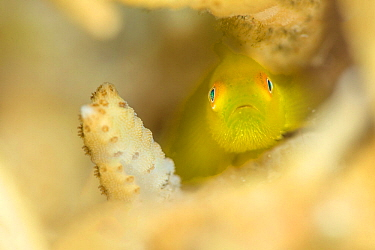 Yellow hairy / Emerald coral goby (Paragobiodon xanthosoma) in coral, Anilao, Batangas, Luzon, Philippines. Verde Island Passages, Pacific Ocean.