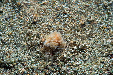 White margin stargazer (Uranoscopus sulphureus) lies hidden in the sand while fishing with its lure / tongue, Anilao, Batangas, Luzon, Philippines. Verde Island Passages, Pacific Ocean.